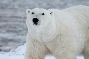polar-bear-404314_1280